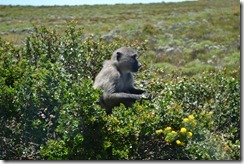 South Africa Baboon
